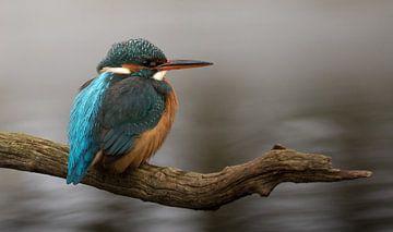 IJsvogel zittend op een tak van Michel de Beer