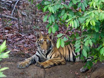 Bengaalse tijger in India van Thea Kleinrouweler
