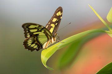 Vlinder  van Bart Houx