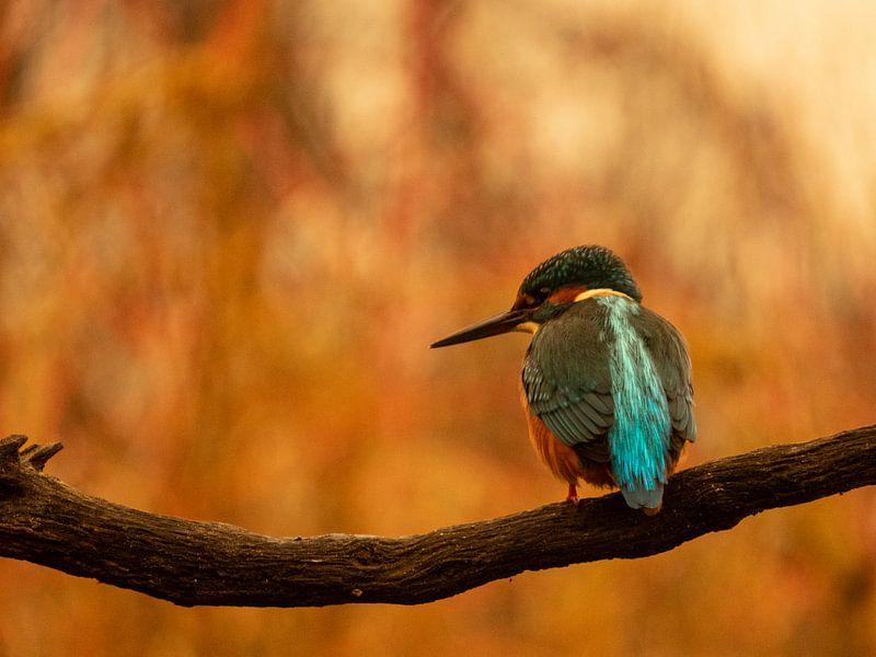 IJsvogel van Wendy Drent