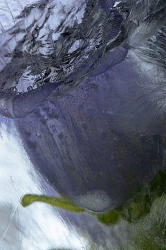 Lila Glockenblume in Eis 1 von Marc Heiligenstein