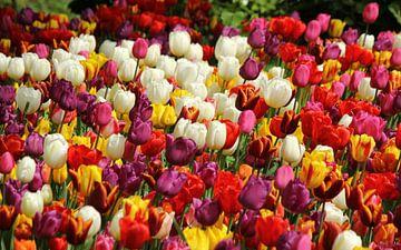 Tulpen uit de Hoofdstad van Wim Popken