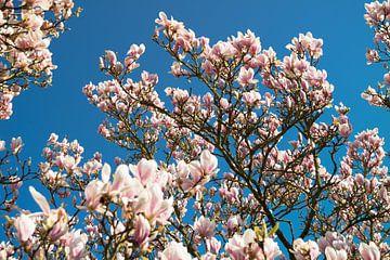 Prachtige magnolia bloemen met als achtergrond een felblauwe hemel van Natascha Teubl