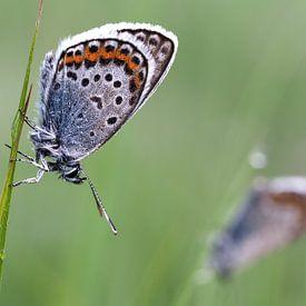 Alcon blue butterflies von Astrid Brouwers