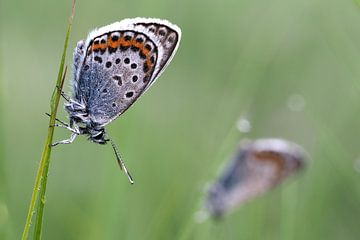 Alcon blue butterflies sur Astrid Brouwers