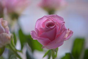 Rose rose sur Lizet Wesselman