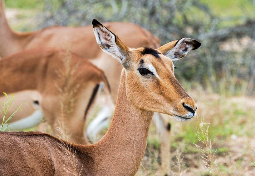 female impala sur ChrisWillemsen