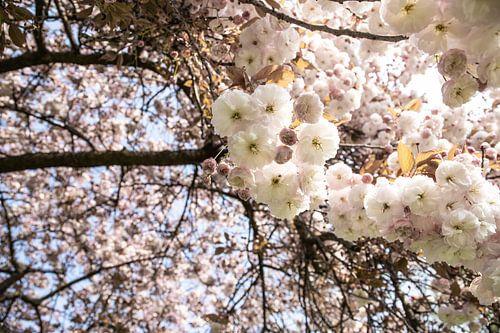 Lente dagen in het park | Bloesem | Wit rose