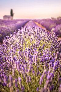 Lavendelveld op het Plateau de Valensole, Provence, Frankrijk