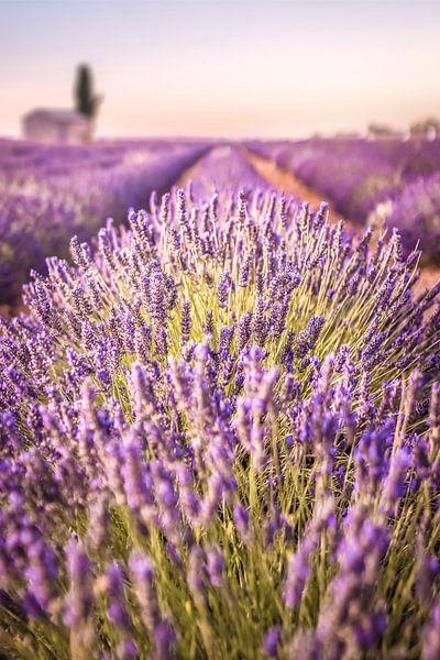 Lavendelveld op het Plateau de Valensole, Provence, Frankrijk van Christian Müringer