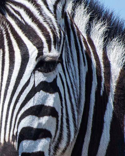 Zebrakop, detail