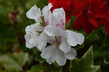 witte geranium von Joke te Grotenhuis