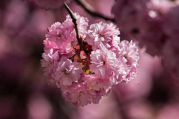 Blüte von Hans Hoekstra