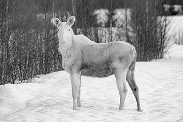 Seltener weißer Elch im Vorgarten II von Jeanine den Engelsman