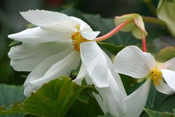 Begonia van Ineke Klaassen