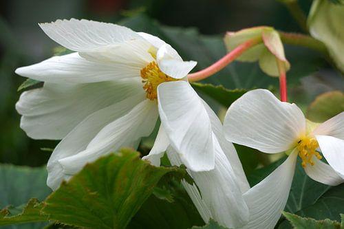 Begonia van