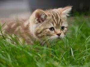 Een jonge Britse korthaar kitten op ontdekkingstocht voor het eerst in de buitenwereld