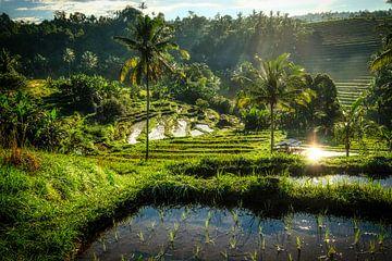Vroege ochtend in de rijstvelden van pixxelmixx