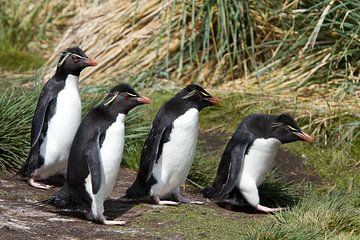 Grappige Rockhopper Pinguïns van Angelika Stern