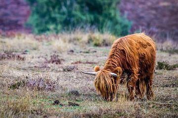 Schottischer Highlander in der Mookerheide von Bas Stijntjes