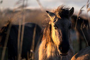 Pferde im Vorland von Bert-Jan de Wagenaar