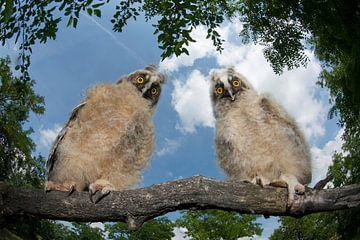 Waldohreule zwei Junge, die tagsüber auf einem Ast sitzen;