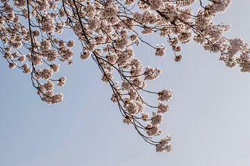 Sakura - Kirschblüte von Bianca Kramer