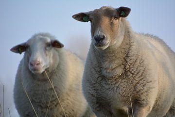 schapen van johanna hibma