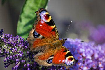 Dagpauwoog vlinder van Patrick van Lent