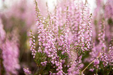 Heidekraut Blumen von Karijn Seldam