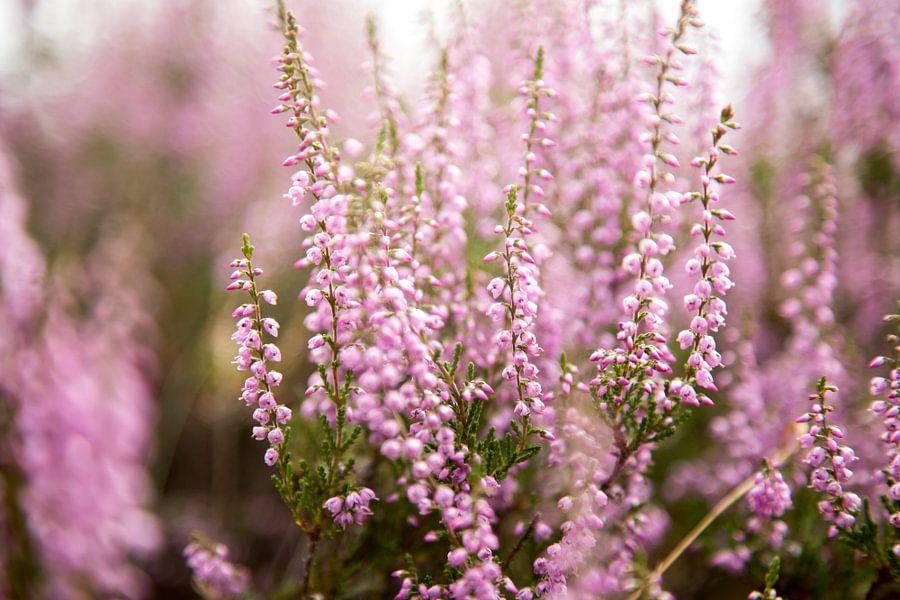 Heide bloemen