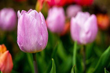 Tulipes roses sur Jan van Broekhoven