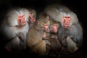 Bavianen observeren gebeurtenissen, een groepsportret van