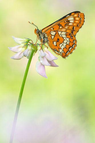 Roodbonte parelmoervlinder (Euphydryas maturna) rustend op een bloem van Nature in Stock