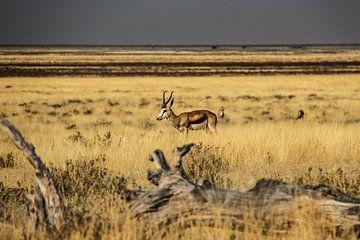 Springbok in Afrika van Marit van de Klok