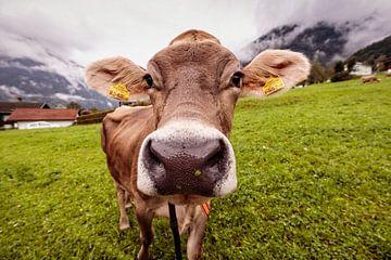 Alpenkuh von Rob Boon