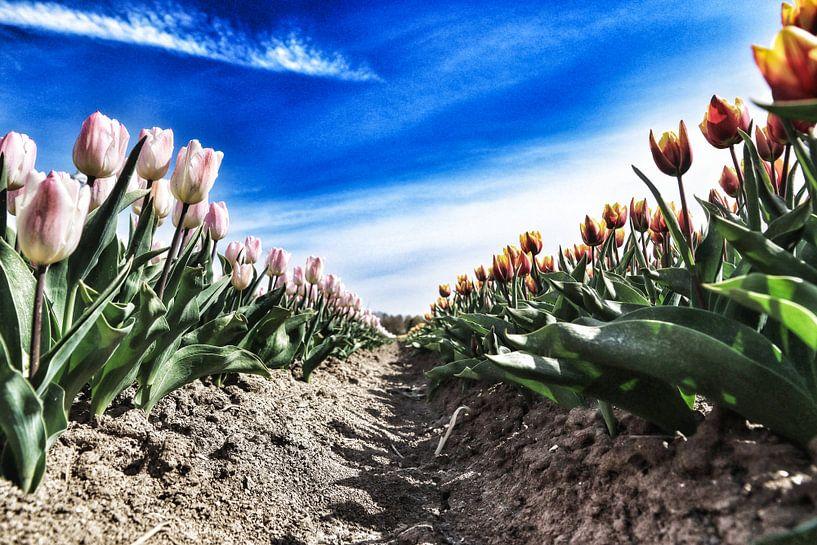Tulpen van Koos de Vries