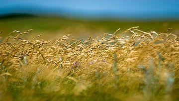 Wuivend gras sur Margo Schoote