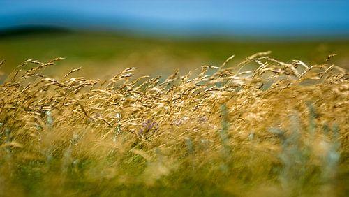 Wuivend gras van