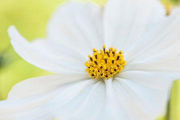 Frisse witte bloem in de tuin close in beeld. van Doris van Meggelen