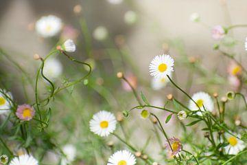 Witte madeliefjes wilde bloemen tuin van Dorota Talady