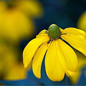 Echinacea geel von Ina Hölzel