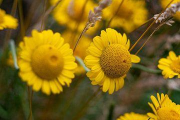 """Großblütige Kamille """"voller Gesundheit"""" in der Natur"""