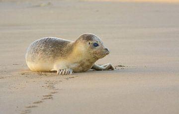 Rustende gewone Zeehond van