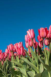 Rode Tulpen 004