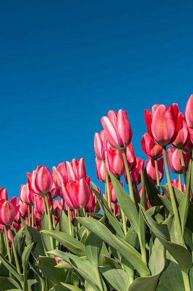 Rode Tulpen 004 van Alex Hiemstra