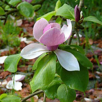 Magnolia  - Tulpenbaum  von RaSch-BS_Design