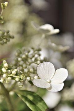 Witte Hortensia Vintage von DoDiLa Foto's