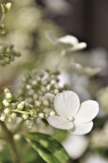 Witte Hortensia Vintage van DoDiLa Foto's