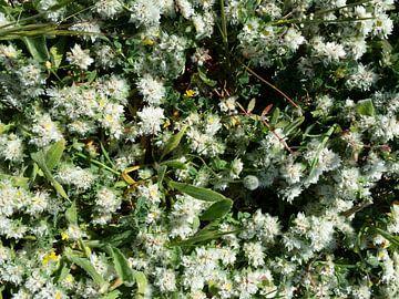 Snowwhite witte bloemetjes close-up von Karen Bos